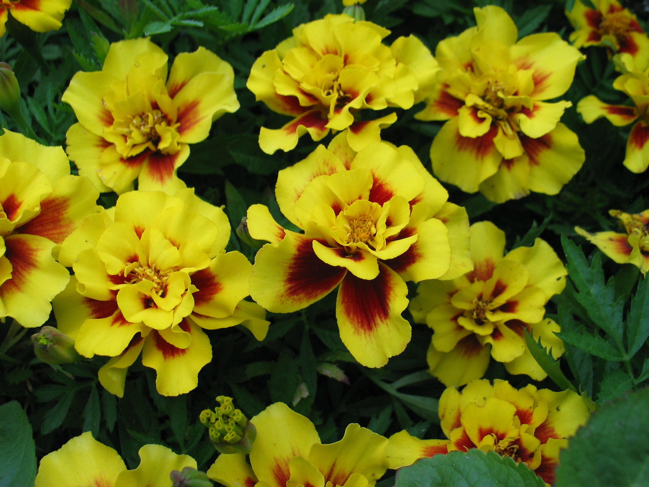 Summer Long And Are Often Used In The Vegetable Garden To Help Deter Pests We Offer A Mix Of Primarily French Varieties Full Sun Good Cut Flower